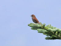 夏山へ・2 - 季節の鳥達