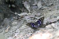 憧れのオオムラサキ - 虫籠物語
