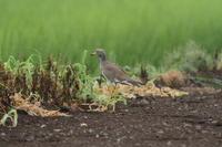 地元の田圃での探鳥 - Bird Healing