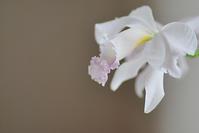 7/28唯一のカトレア - 「あなたに似た花。」