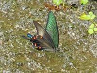 キリシマミドリシジミ7月最後の日曜日 - 蝶のいる風景blog