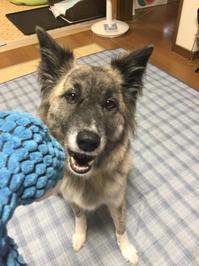 検証 of お宝 - 琉球犬mix白トゥラーのピカ