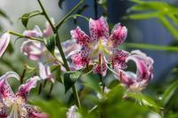 白い鹿の子百合 - あだっちゃんの花鳥風月