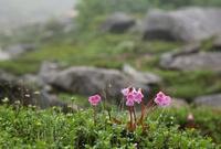 木曽駒・極楽平の花 その4 - 花鳥風景