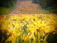 """Lilies at """"onze"""" - kawamax"""