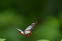 いろいろなチョウに会えました - 旅のかほり