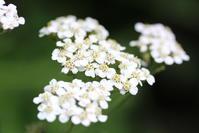 """我が家のハーブ - 英国メディカルハーバリスト&アロマセラピストのブログ""""Herbal Healing 別館"""""""