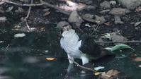 涼しげな野鳥の水浴び(2):オオタカお父さんの水浴び前 - Life with Birds 3