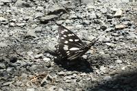 ■ゴマダラチョウ17.8.1 - 舞岡公園の自然2