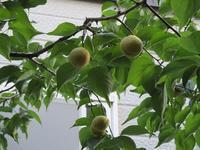 8月2日(水)・・・梅収穫 - ある喫茶店主の気ままな日記。