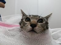 そと猫のお友だち ちむちむくん編。 - ゆきねこ猫家族