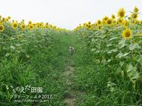 柴犬とひまわり - yamatoのひとりごと