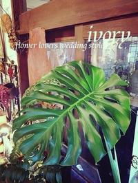 『MONSTERA』 -  Flower and cafe 花空間 ivory (アイボリー)