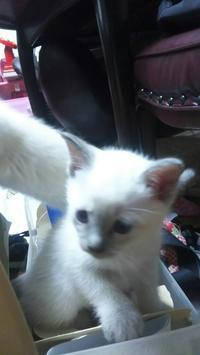 仔猫成長記録 No3 - MINKWIN Cattery &Pretty Aki