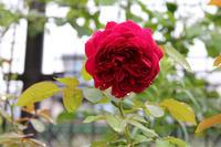 雨上がりの朝*飛んでった多肉 - my small garden~sugar plum~