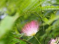 合歓の花 - 鹿深の森