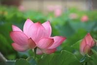Lotus - Bamboobooのひとりごと