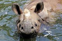 水浴するインドサイ - 動物園放浪記