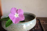 ニチニチソウが咲きました - リリ子の一坪ガーデン