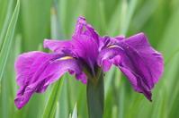 花しょうぶいろいろ(11)☆赤紫、青紫、濃い目の色3 - さんじゃらっと☆blog2