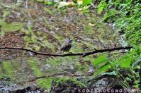 キクイタダキ - 気ままな生き物撮り