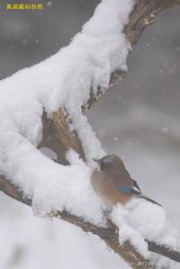 雪の小鳥たち - 奥武蔵の自然