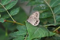 信州日帰りの旅その1ヒメシジミ(2017/07/08) - Sky Palace -butterfly garden- II