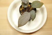 "Homalomena sp. 'Silver Red' ""Malay Peninsula"" - PlantsCade -2nd effort"