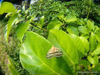 鼈甲羽衣【イヌビワの葉にベッコウハゴロモ】 - kawanori-photo