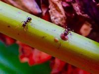 オーストラリアの蟻・3(マナコオオアリ、アシナガミツアリ、他) - 世話要らずの庭
