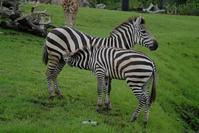 アフリカのサバンナ - 動物園に嵌り中