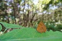 夏の風物詩ムモンアカシジミ - 蝶超天国