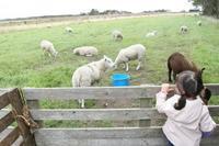 テッセル島で子羊との触れ合い体験☆ - ドイツより、素敵なものに囲まれて②