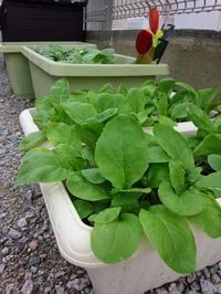 家庭菜園)あふれる緑 - 下手の横好き 手芸と日々の出来事