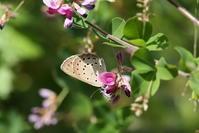 ゴマシジミ、ヘリグロチャバネセセリ(長野県、20170806) - Butterfly & Dragonfly