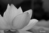 Lotus #3 - Bamboobooのひとりごと