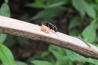 ■ オニグモを狩るオオシロフクモバチ   17.8.9 - 舞岡公園の自然2