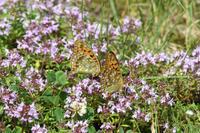信州日帰りの旅その3ギンイチモンジセセリ(2017/07/08) - Sky Palace -butterfly garden- II