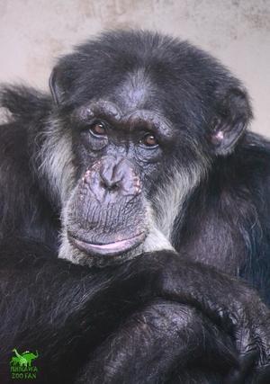 チンパンジーのイチロー - ISHIKAWAZOO FAN 2