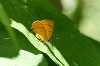 舞い降りたオレンジ色の妖精、ムモンアカシジミ(長野県、20170806) - Butterfly & Dragonfly