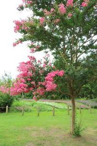 サルスベリピンクっぽい花が咲いてました。 - 平凡な日々の中で