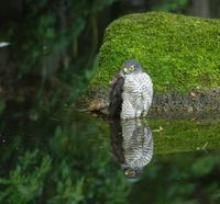 涼しげな野鳥の水浴び(7):ツミ雌の水浴び(縦位置) - Life with Birds 3