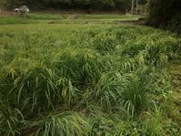 また田んぼにイノシシ入った。。。イセヒカリ出穂。スイカ豊作。 - にじまる食堂 & にじまる農園