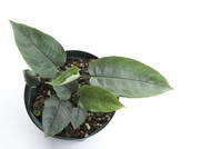 "Schismatoglottis sp. ""Kluang"" - PlantsCade -2nd effort"
