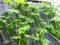 緑のカーテン  増える - NATURALLY