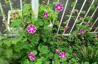 朝顔の花の成長記録  22 - 心の写真