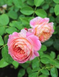 バラの心と夏の空 - HOME SWEET HOME ペコリの庭 *