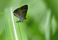 アリに育てられるクロシジミとキマダラルリツバメ - 蝶鳥写楽