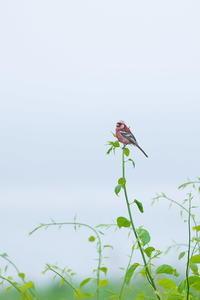 北海道の夏 ′17_ベニマシコ(9) - 彩の国 夢見人のフォト日記