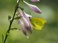 スジボソヤマキチョウ - 風の翅